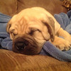 Oscar, a 10-week-old bullmastiff, taking a nap.<br /> <br /> Photographer's Name: Beth Reisinger<br /> Photographer's City and State: Anderson, Ind.