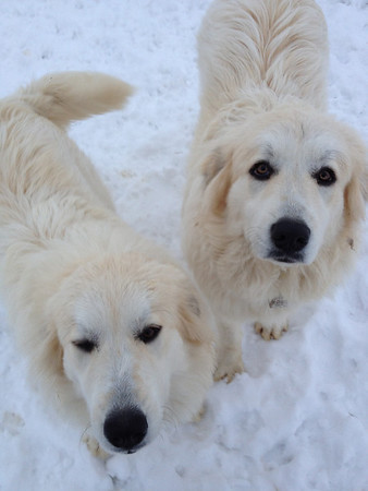 Heidi and Greta our Great Pyrenees <br /> <br /> Photographer's Name: Christina McCaul<br /> Photographer's City and State: Pendleton, IN