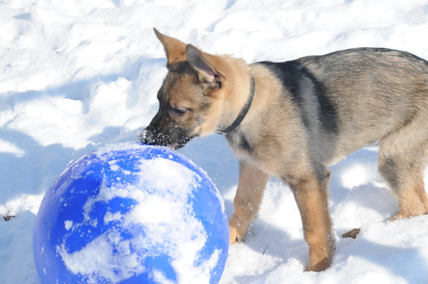 """""""You want me to do WHAT with this ball?"""" Indy (a GSD puppy) and his first winter.<br /> <br /> Photographer's Name: Laura Jones<br /> Photographer's City and State: Alexandria, Ind."""