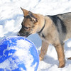 """You want me to do WHAT with this ball?"" Indy (a GSD puppy) and his first winter.<br /> <br /> Photographer's Name: Laura Jones<br /> Photographer's City and State: Alexandria, Ind."