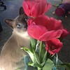 Marble checking out the tulips.<br /> <br /> Photographer's Name: Jamie Milner<br /> Photographer's City and State: Pendleton, Ind.