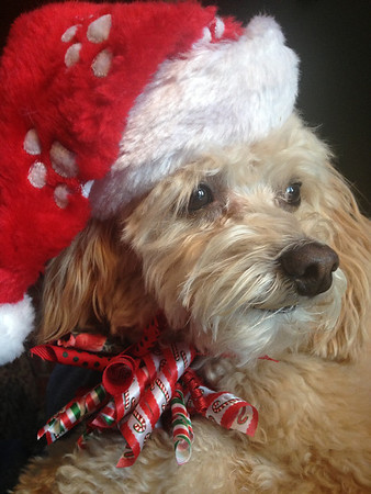 Bella Buttercup Frazier waiting in her festive attire for Santa to come.<br /> <br /> Photographer's Name: Tammy and Brian Frazier<br /> Photographer's City and State: Anderson, Ind.