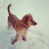 2 year old Golden Retriever Macy enjoying the winter weather.<br /> <br /> Photographer's Name: Jennifer Everitt<br /> Photographer's City and State: Alexandria, IN