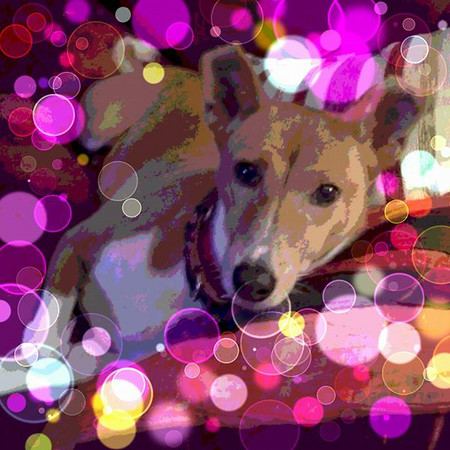 My favorite girl, my Njeri, age 14 1/2 yrs old and she is a Basenji.<br /> <br /> Photographer's Name:  <br /> Photographers City and Country: ,