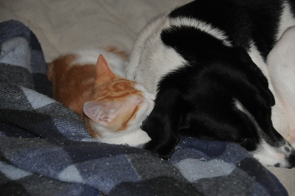 Sleeping buddies: Macy, a Border collie mix, and Ollie, the kitten.<br /> <br /> Photographer's Name: Laura Jones<br /> Photographer's City and State: Alexandria, Ind.