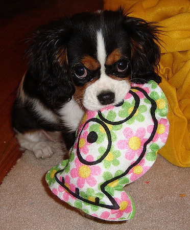 """""""Daisy,"""" a cavalier spaniel, thinks she is helping mommy by holding her oven mitt.<br /> <br /> Photographer's Name: Beth Walker<br /> Photographer's City and State: Anderson, Ind."""