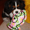 """Daisy,"" a cavalier spaniel, thinks she is helping mommy by holding her oven mitt.<br /> <br /> Photographer's Name: Beth Walker<br /> Photographer's City and State: Anderson, Ind."
