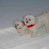 Most people think that Maltese are only indoor dogs but my two, Antony and Lila, love the outdoors even in the snow<br /> <br /> Photographer's Name: Ron Norris<br /> Photographer's City and State: Pendleton, IN