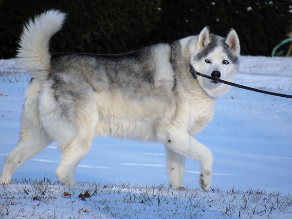 An Alaskan Husky, trekking in his natural environment.<br /> <br /> Photographer's Name: Harry Van Noy<br /> Photographer's City and State: Lafayette Township, Ind.
