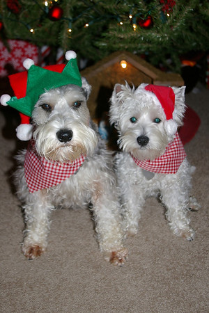 Winston, a 4-year old miniature schnauzer, and Rigby, a 1-year old West Highland White Terrier are all ready to celebrate Christmas, and see what presents await them underneath the Christmas tree on Tuesday!<br /> <br /> Photographer's Name: Hannah  Davis<br /> Photographer's City and State: Alexandria, IN