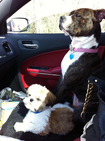 Lucy and Linus, my 1.5 year old Pit Bull and my mom's 5 month old Shih Tzu. They were waiting patiently to pick my nieces up from school<br /> <br /> Photographer's Name: Scott Allen<br /> Photographer's City and State: Anderson, IN