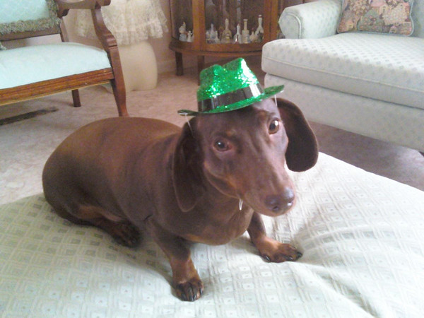 Charlie, a four-year-old Dachshund, is ready for St. Patrick's Day!<br /> <br /> Photographer's Name: Melva Tegge<br /> Photographer's City and State: Middletown, Ind.