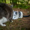 """The kitten (Gus) is confronted by the """"old cat"""" (Jag) for spying!<br /> <br /> Photographer's Name: Terry Lynn Ayers<br /> Photographer's City and State: Anderson, Ind."""