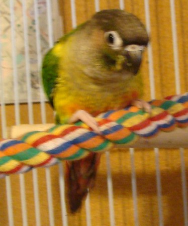 Miss Lisa Conure, RIP<br /> <br /> Photographer's Name: Jack D. Reynolds<br /> Photographer's City and State: Anderson, Ind.