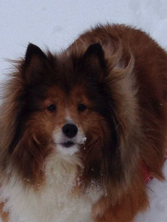 "Our snow ""Angel"" (sheltie).<br /> <br /> Photographer's Name: Patty Mills-Lee<br /> Photographer's City and State: Chesterfield, Ind."