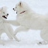 My Samoyeds Dexter and Lyla at play in their element.<br /> <br /> Photographer's Name: Tom Polkabla<br /> Photographer's City and State: Anderson, IN