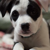Eevie as a puppy .<br /> <br /> Photographer's Name: Angie Elsten<br /> Photographer's City and State: Anderson, Ind.