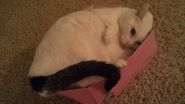 Anderson resident Toby Benefiel's cat, Fiddlin', is upset that her shoe box shrunk.<br /> <br /> Photographer's Name: Toby Benefiel<br /> Photographer's City and State: Anderson, IN