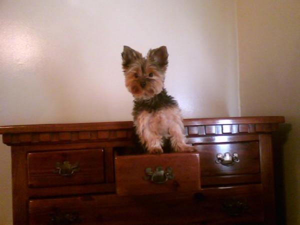 Little Yogi Hanging out in the dresser.<br /> <br /> Photographer's Name: Carla Evans<br /> Photographer's City and State: Anderson, Ind.