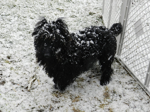 Scooter my Scottie Dog, He loves the snow and does not want to come inside! 2-15-13 Middletown Ind.<br /> <br /> Photographer's Name: Katie  Anderson<br /> Photographer's City and State: Middletown, IN
