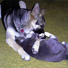 German Shepherd Kara and her best friend Joe are inseparable, whether it's playing togehter or snuggling up for a little nap.<br /> <br /> Photographer's Name: Frankie Koons<br /> Photographer's City and State: Middletown, IN
