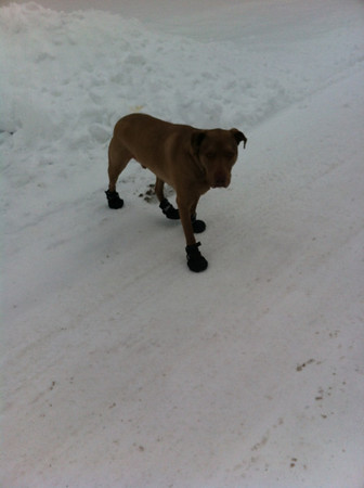 Barkley in his snow boots.<br /> <br /> Photographer's Name: Brenda Caldwell<br /> Photographer's City and State: Anderson, Ind.