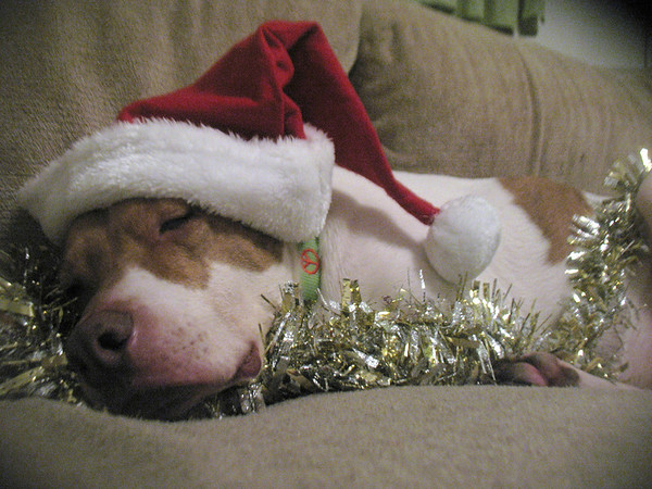 VanGogh the wonder dog, not impressed by his holiday outfit, snoozes among the garland. <br /> <br /> Photographer's Name: Abbey Doyle<br /> Photographer's City and State: Anderson, IN