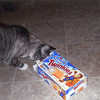 Cassidy, a snowshoe cat, looks for more Twinkies from owner Dennis O'Dell.