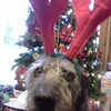 Merry Christmas from Lady Dog.<br /> <br /> Photographer's Name: Robin Smith<br /> Photographer's City and State: Anderson, Ind.