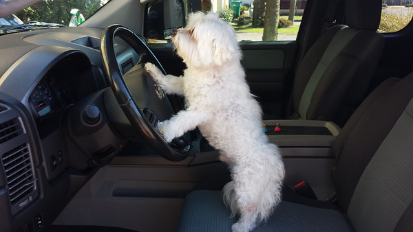 Our grandson Chompers preparing to drive to the local Petsmart.<br /> <br /> Photographer's Name: Patty  Paschal<br /> Photographer's City and State: Middletown, Ind.