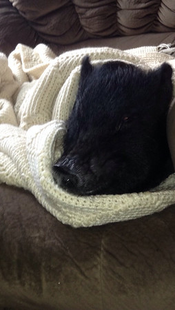Pig in a blanket! This is Braut. He is a three-year-old mini pot belly pig. Photo by Tiffany Moore of Chesterfield.<br /> <br /> Photographer's Name: Tiffany Hart Moore<br /> Photographer's City and State: Chesterfield, Ind.