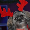 Allie doing her best reindeer impersonation.  Allie is a Lhasa Apso, is 6 years old and belongs to Karsyn and Colt Litsey of Fankton.<br /> <br /> Photographer's Name: Lana  Ward<br /> Photographer's City and State: Frankton, IN