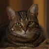 """Molly"",,, The Watch Cat<br /> <br /> Photographer's Name: Linda P. Rosencrans<br /> Photographer's City and State: Alexandria, IN"