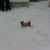 Foster Duchess loves the snow! <br /> <br /> Photographer's Name: Brenda Caldwell<br /> Photographer's City and State: Anderson, Ind.