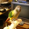 Miss Jade Conure, RIP<br /> <br /> Photographer's Name: Jack D. Reynolds<br /> Photographer's City and State: Anderson, Ind.
