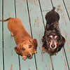 Shiloh and Odie, belonging to Brian and Paula, looking for a treat.<br /> <br /> Photographer's Name: H.A. Pease<br /> Photographer's City and State: Anderson, Ind.