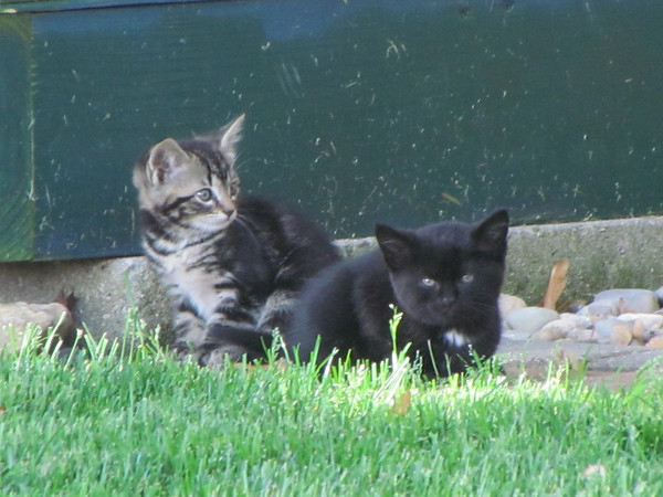 New kittens checking out the back yard.<br /> <br /> Photographer's Name: Brian Fox<br /> Photographer's City and State: Anderson, Ind.