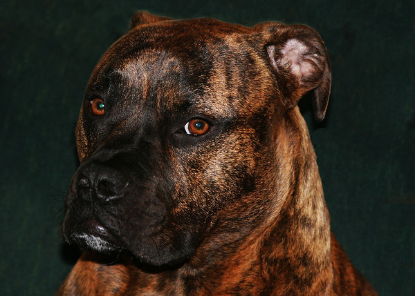 Our handsome dog Duke.<br /> <br /> Photographer's Name: Bob Jacobs<br /> Photographer's City and State: Chesterfield, Ind.