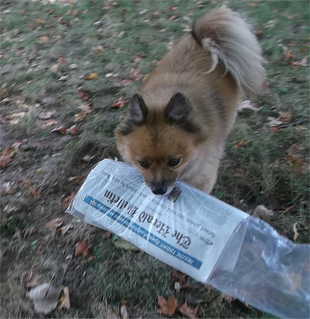 Dudley loves the Herald Bulletin, too!  He also loves the cheese he gets for fetching the paper.<br /> <br /> Photographer's Name: Vicky Robinson<br /> Photographer's City and State: Anderson, Ind.