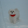 Antony is a Maltese but he loves to play in the snow<br /> <br /> Photographer's Name: Ron Norris<br /> Photographer's City and State: Pendleton, IN