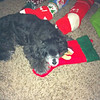 Bailey is patiently waiting for Santa to fill her stocking.<br /> <br /> Photographer's Name: Jeannette Brown<br /> Photographer's City and State: Anderson, Ind.