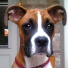 Our Boxer Duke is such a handsome guy!<br /> <br /> Photographer's Name: Tawnya Curran<br /> Photographer's City and State: Ingalls, Ind.