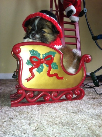 Bernie playing at Christmas Time/Pomeranian, Papillion 8 weeks old<br /> <br /> Photographer's Name: Mary Havens<br /> Photographer's City and State: Anderson, IN
