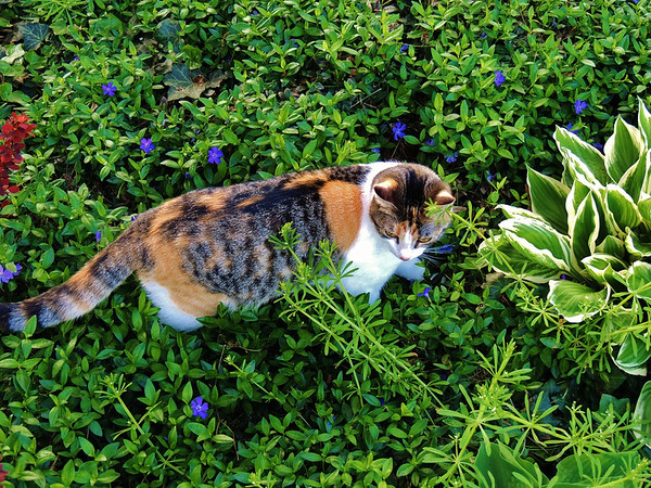 Indoor kitty exploring her backyard jungle for the first time.<br /> <br /> Photographer's Name: Sharon Markle<br /> Photographer's City and State: Markleville, IN