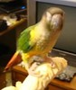 Miss Jade (Green-Cheek) Conure.<br /> <br /> Photographer's Name: Jaci Reynolds<br /> Photographer's City and State: Anderson, Ind.