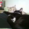 My cats, Stormy and Ringo, snuggling<br /> <br /> Photographer's Name: Christine Graham<br /> Photographer's City and State: Anderson, IN