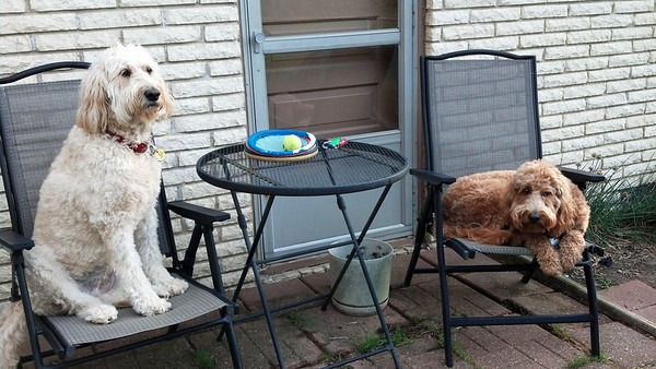 Dog Days: Goldendoodles, Dusty and Toni.<br /> <br /> Photographer's Name: Roger Tatum<br /> Photographer's City and State: Anderson, Ind.