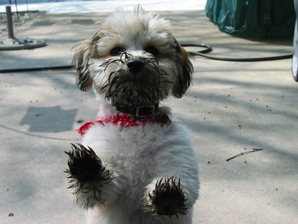 """Reese, our """"Mud Puppy""""<br /> <br /> Photographer's Name: Judy Gaines<br /> Photographer's City and State: Anderson, IN"""