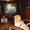 "My dog ""Gabby"" watching the annual National Dog Show on TV.<br /> <br /> Photographer's Name: P. Eric Schmidt<br /> Photographer's City and State: Alexandria, Ind."