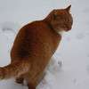 Honey Cat in the Snow, Anderson, March 6, 2013<br /> <br /> Photographer's Name: Rachel Landers<br /> Photographer's City and State: Anderson, IN
